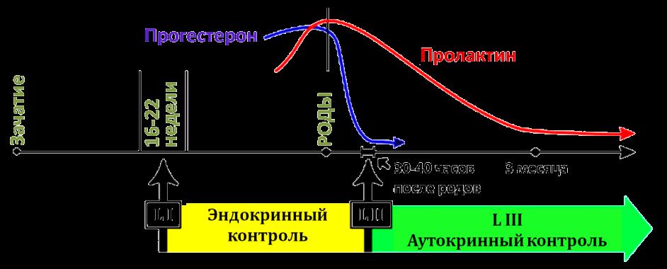 этапы лактации